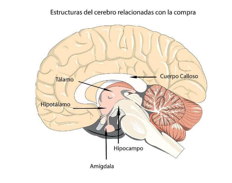 Estructuras-cerebrales-compra